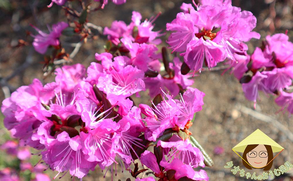 azalea geisha purple