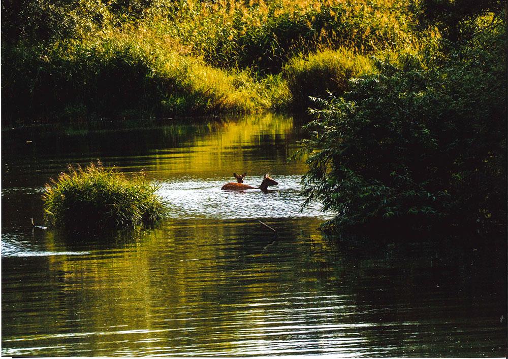 銀賞残暑-鹿も川の中!