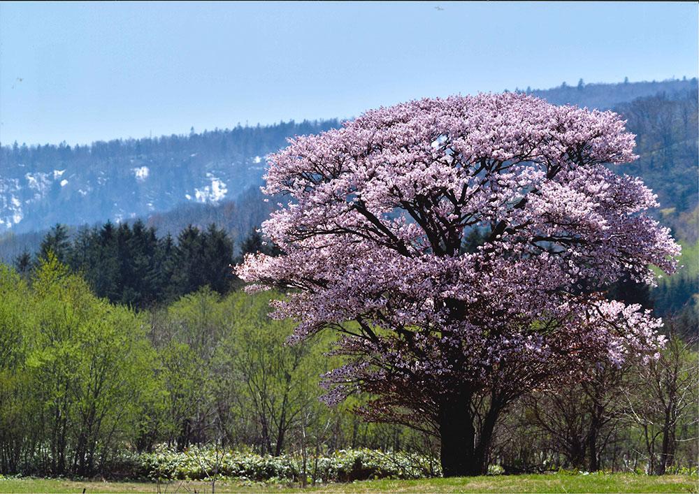 銀賞中幌内の大桜